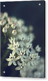 Milkweed  Acrylic Print by Saija  Lehtonen