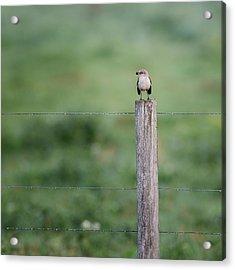 Minimalism Mockingbird Acrylic Print by Bill Wakeley