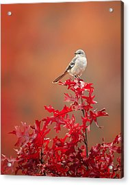Mockingbird Autumn Acrylic Print by Bill Wakeley