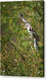 Mockingbird Acrylic Print by Bill Wakeley