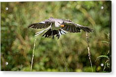 Mockingbird In Flight Acrylic Print by Bill Wakeley