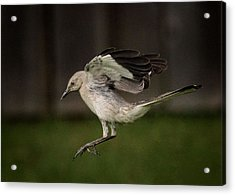 Mockingbird No. 2 Acrylic Print by Rick Barnard