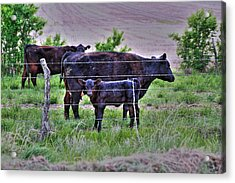Mom And Calf Acrylic Print by Jason Drake