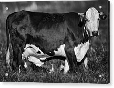 Momma Cow Acrylic Print by Patrick M Lynch
