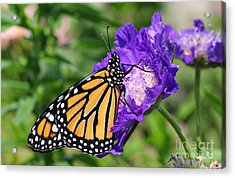 Monarch And Pincushion Flower Acrylic Print by Steve Augustin