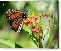 Monarch Butterfly 3 Acrylic Print by Julie Cameron