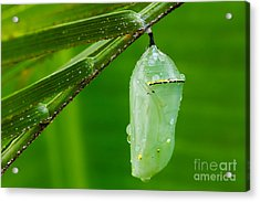 Monarch Butterfly Chrysalis Acrylic Print by Dawna  Moore Photography