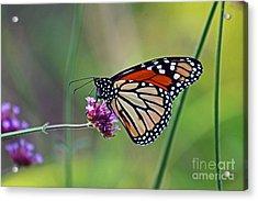 Monarch Butterfly In Garden Acrylic Print by Karen Adams