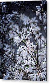 Moonlit Blossoms Acrylic Print by HD Connelly