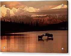 Moose Kissing In Wonder Lake Denali Np Acrylic Print by Ron Sanford