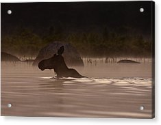 Moose Swim Acrylic Print by Brent L Ander