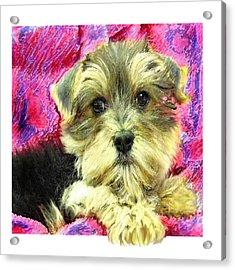 Morkie Puppy Acrylic Print by Jane Schnetlage
