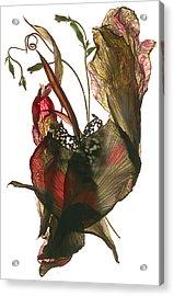 Morning Glory Canna Heart Acrylic Print by Julia McLemore