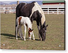 Mother And Filly Grazing Pasture White Acrylic Print by Piperanne Worcester