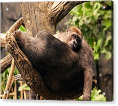 Mother And Youg Gorilla Sleeping In A Tree Acrylic Print by Chris Flees