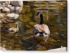 Mother Goose Il Acrylic Print by Maria Angelica Maira
