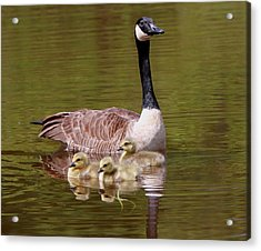 Mother Goose With Baby Geese Acrylic Print by Edward Kocienski