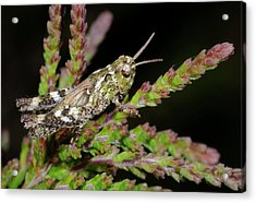 Mottled Grasshopper Juvenile Acrylic Print by Nigel Downer