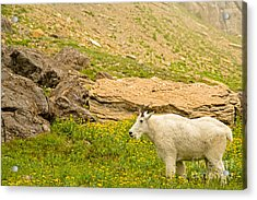 Mountain Goat In The Mountains Acrylic Print by Natural Focal Point Photography