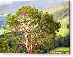 Mountain Pine Tree In Wicklow. Ireland Acrylic Print by Jenny Rainbow