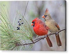 Mr. And Mrs. Redbird In Pine Tree Acrylic Print by Bonnie Barry