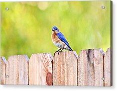 Mr. Bluebird Acrylic Print by Scott Pellegrin