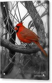 Mr Cardinal -card Acrylic Print by Sandra Clark