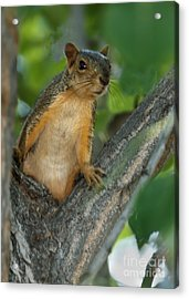 Mr.  Inquisitive  Acrylic Print by Robert Bales