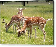 Multitasking Deer In Richmond Park Acrylic Print by Rona Black