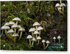Mushrooms In The Oregon Coast Range Acrylic Print by William H. Mullins