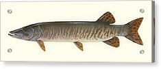 Muskellunge  Acrylic Print by Mountain Dreams