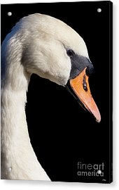 Mute Swan Acrylic Print by Wobblymol Davis