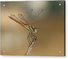 My Best Dragonfly Acrylic Print by Janina  Suuronen