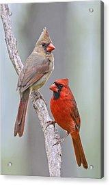 My Cardinal Neighbors Acrylic Print by Bonnie Barry