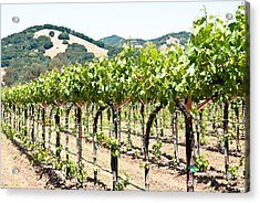 Napa Vineyard Grapes Acrylic Print by Shane Kelly