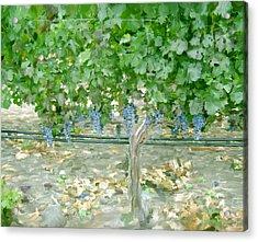Napa Vineyard Acrylic Print by Paul Tagliamonte