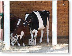 National Zoo - Cow - 01133 Acrylic Print by DC Photographer