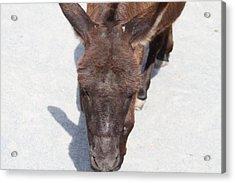 National Zoo - Donkey - 01132 Acrylic Print by DC Photographer