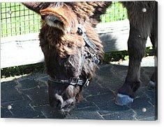National Zoo - Donkey - 01139 Acrylic Print by DC Photographer