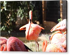 National Zoo - Flamingo - 01133 Acrylic Print by DC Photographer