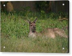National Zoo - Kangaroo - 12125 Acrylic Print by DC Photographer