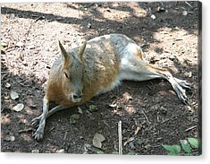 National Zoo - Kangaroo - 12126 Acrylic Print by DC Photographer