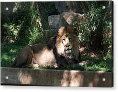 National Zoo - Lion - 011315 Acrylic Print by DC Photographer