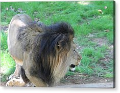 National Zoo - Lion - 01133 Acrylic Print by DC Photographer