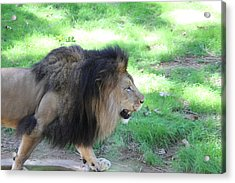 National Zoo - Lion - 01135 Acrylic Print by DC Photographer