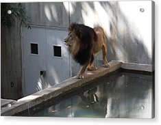 National Zoo - Lion - 01137 Acrylic Print by DC Photographer