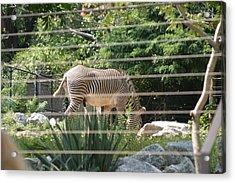 National Zoo - Zebra - 12121 Acrylic Print by DC Photographer