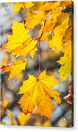 Natural Patchwork. Golden Mable Leaves Acrylic Print by Jenny Rainbow