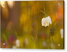 Natures Painting - Snakes Head Fritillaries Acrylic Print by Roeselien Raimond