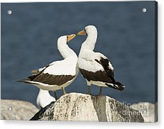 Nazca Booby Pair Acrylic Print by William H. Mullins